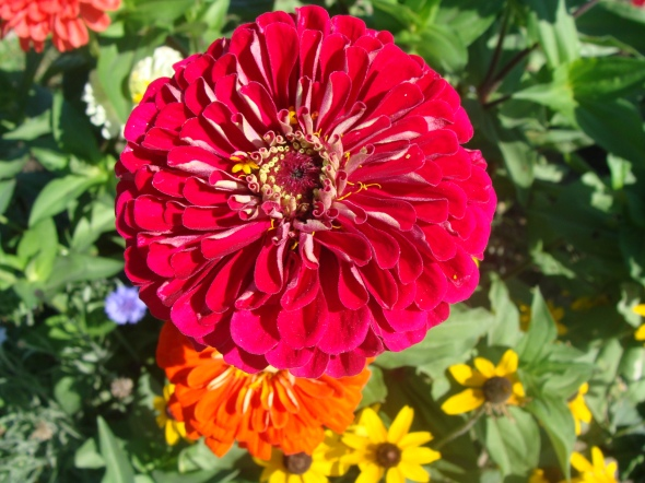 I love the color of this zinnia!